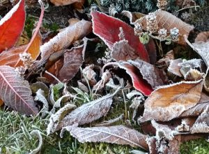 Frosted Leaves in transition